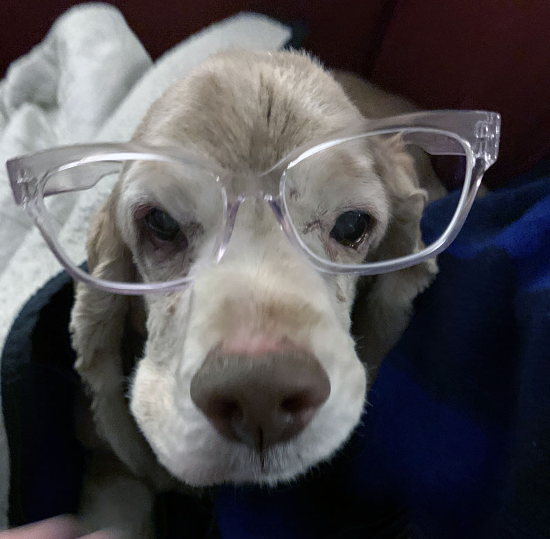 ollie the dog, wearing clear-framed glasses.
