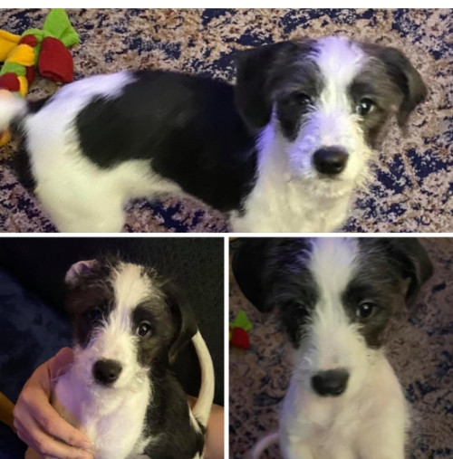 montage of a black and white JRT mix puppy
