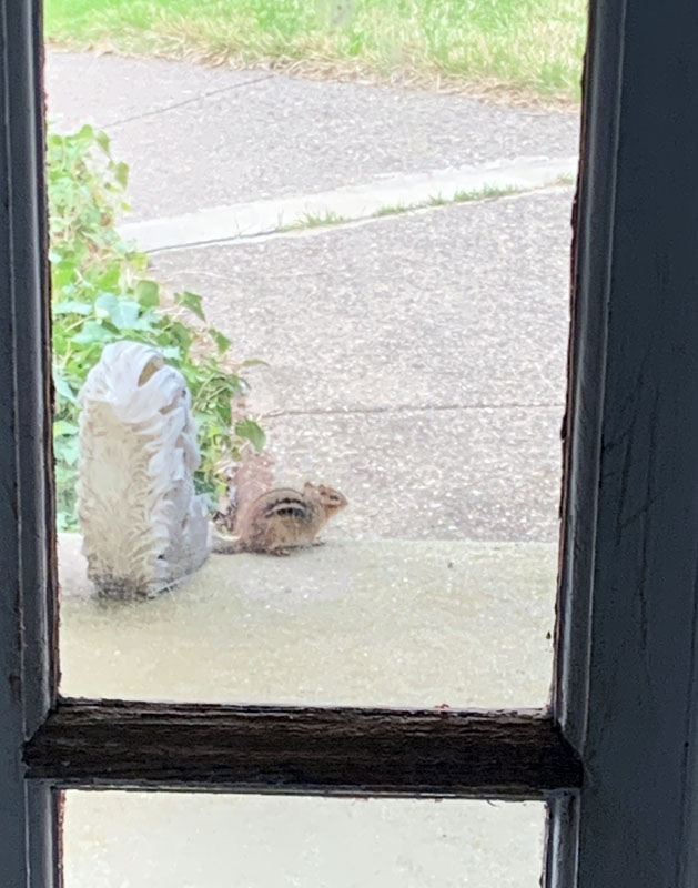 grainy photo of a fat chipmunk on my porch
