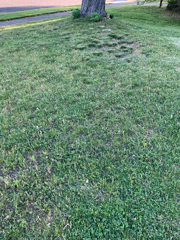 image of my front lawn, which is mostly ugly weeds, very little grass, and  patches of dirt where neither grows