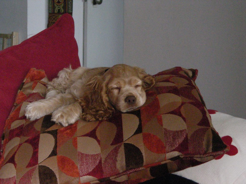 puppy ollie sleeping on a pillow. I still have this sofa and pillow.