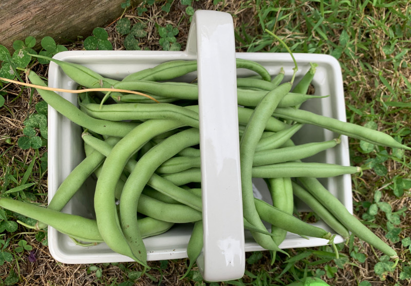 a basket of freshly picked green beans