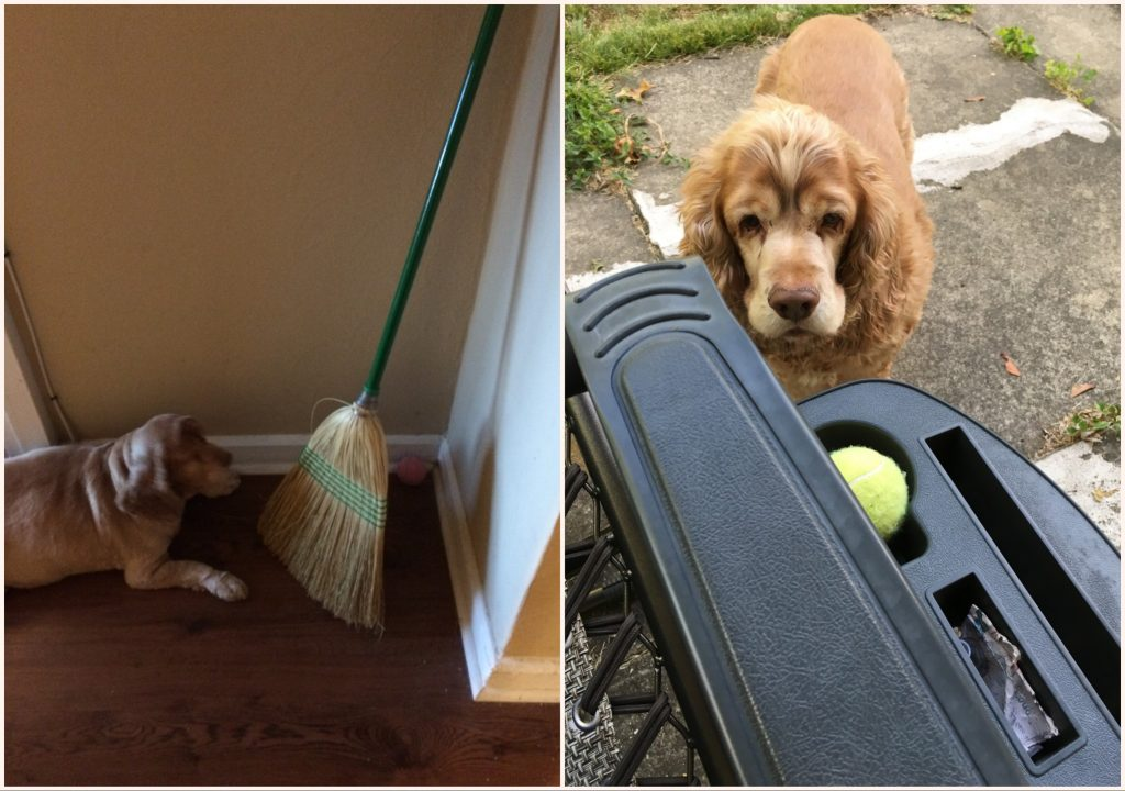 left: ollie, a broom in the corner, and a pink tennis ball behind the broom. right: Ollie staring at a tennis ball in a cup holder.