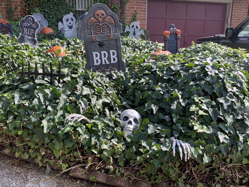 a bed of stupid invasive ivy with foam gravestones and a skeleton shoved into it